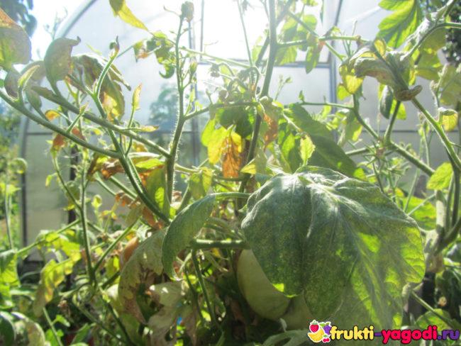 Зелёный плод помидора на кусте с опавшим цветом