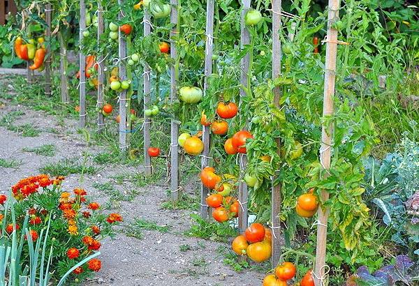 Ускоренное созревание помидор на деревянной шпалере