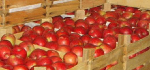 Хранение спелых помидоров в ящике в погребе
