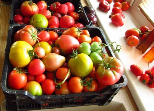 Дозревание плодов томатов на батарее отопления перед окном квартиры