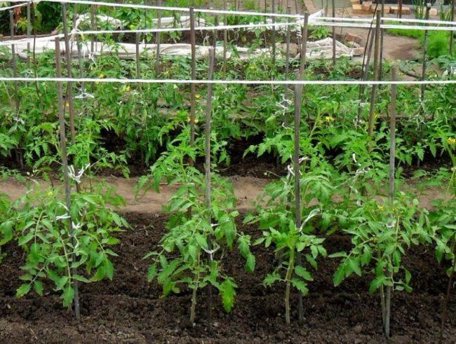 Молодые кусты помидоры на деревянных опорах в открытом грунте