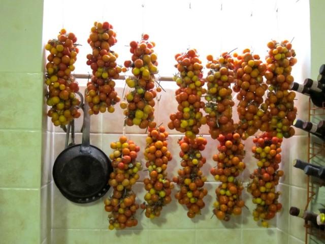 Дозревание плодов томатов на ветках в условиях городской квартиры