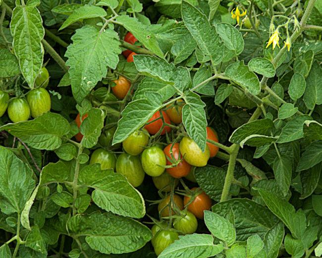 Зеленые плоды на сильно загущенном кусту томата