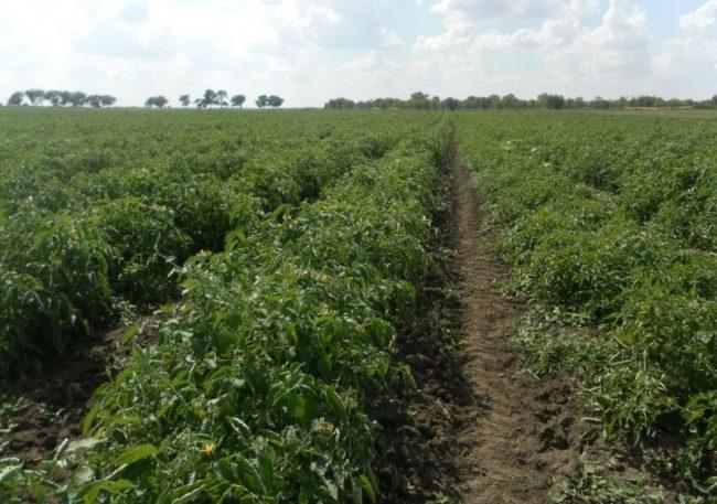 фермерское поле с посадки товарных сортов томатов