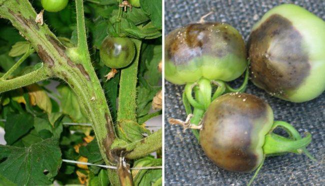 Зеленые плоды томатов с симптомами заражения культуры некрозом