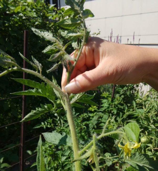 Удаление пальцами рук точки роста на макушке куста помидоры