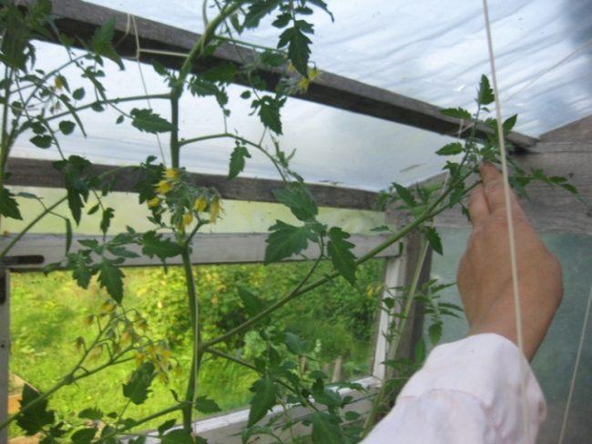 Длинные стебли томатов в теплице из пленки на деревянном каркасе