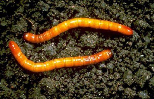 Фото коричневых личинок жука-щелкуна на фоне садовой земли