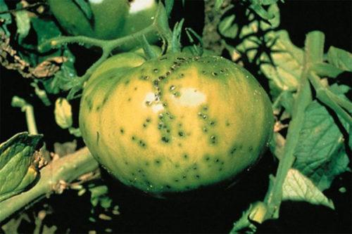 Зеленый плод томата с мелкими черными пятнами от бактериального забалевания