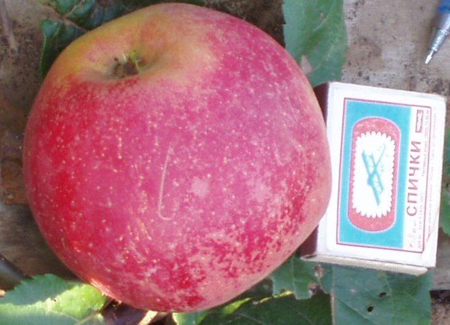 Крупное яблоко сорта Краса Свердловска рядом со спичечным коробком