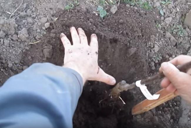 Размещение саженца колоновидной яблони в посадочной яме