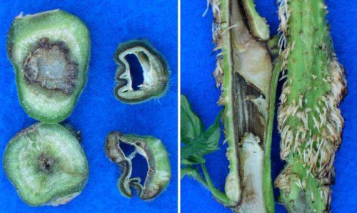 Разрезанные стебли томата с гниющей от некроза сердцевиной