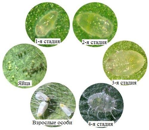 Схема развития белокрылки от яиц до взрослых особей