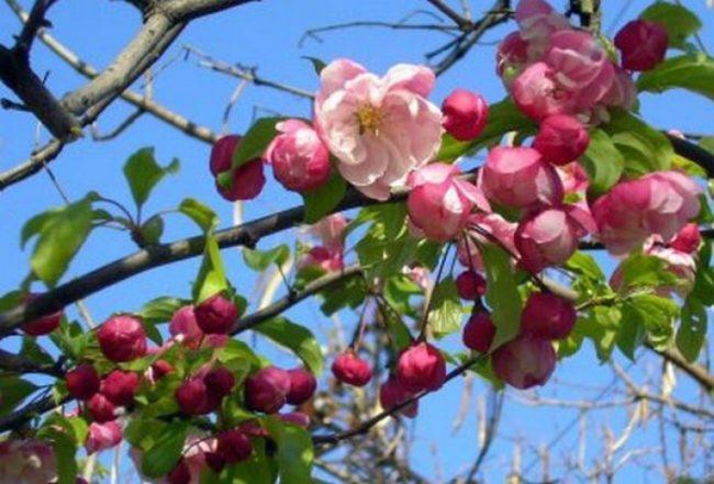 Розовые цветки на ветках яблони в начале мая