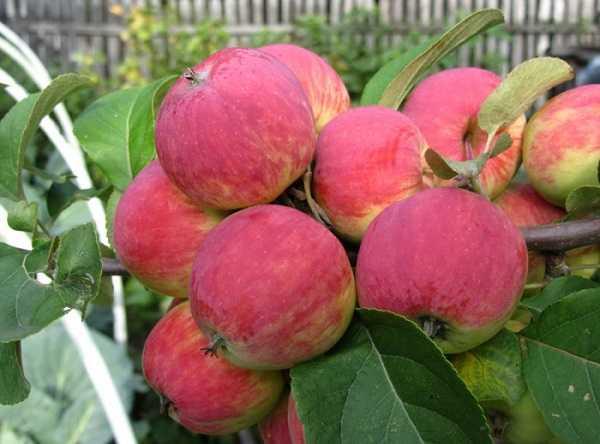 Яблоки сорта Румяна Свердловская с полосчатой окраской желтого и красного цветов
