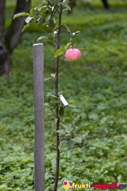 Саженец колоновидной яблони с одним плодом