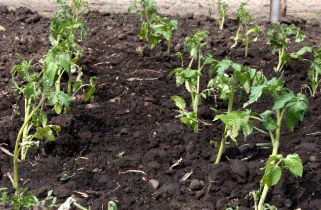 Рассада помидоров с поникшими листьям после пересадки