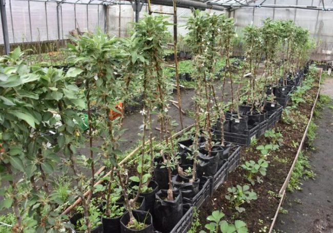 Саженцы колоновидных яблонь с закрытой корневой системой в питомнике