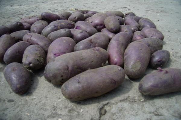 Клубни семенного картофеля с фиолетовой кожицей