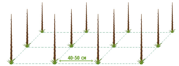 Схема размещения саженцев колоновидных яблонь при закладке плодового сада