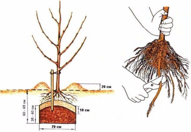 Устройство посадочной ямы для яблони и обрезка длинных корней
