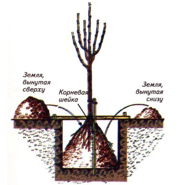 Устройство ямы для посадки саженца колоновидной яблони