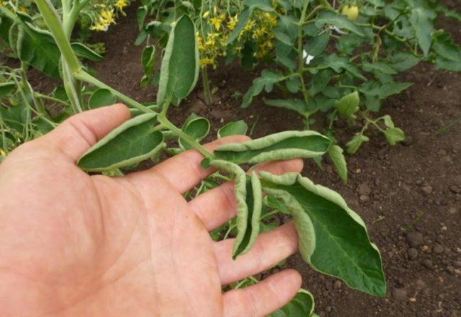 Скрученные листья на ветке помидоры из-за недостаточного полива