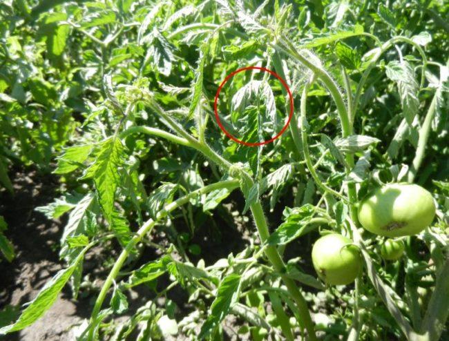 Листья помидоры с загибающимися краями при поражении растения тлей