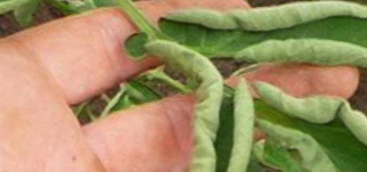 Скрутился лист у помидор вся листовая пластина