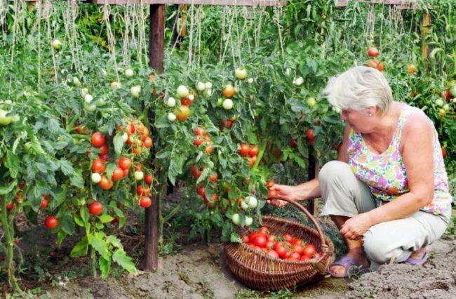 Уборка поспевших плодов с кустов томатов в открытом грунте