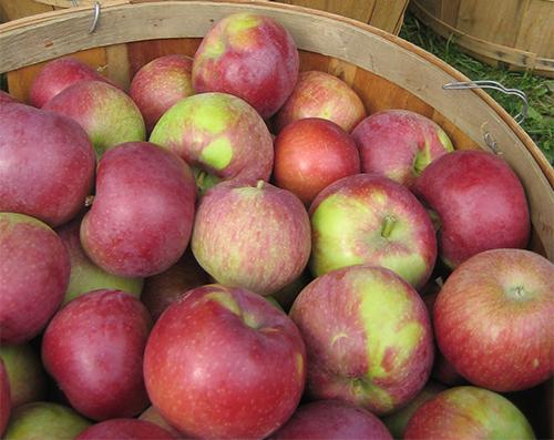 Урожай вкусных яблок осеннего сорта Лобо в деревянном лукошке