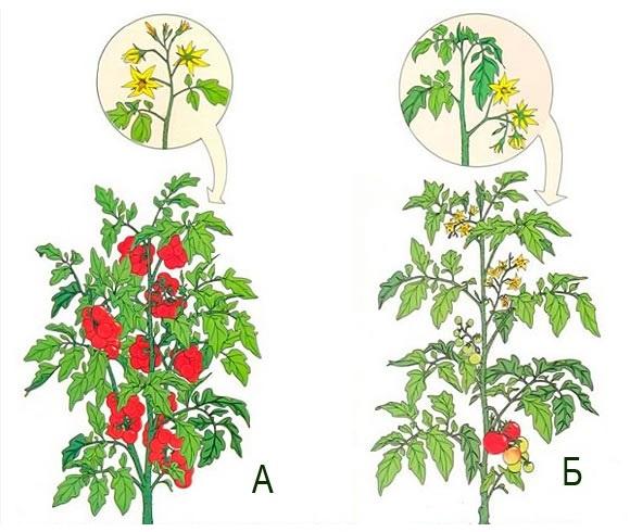 Схема отличий детерминантных томатов ои индетерминантных