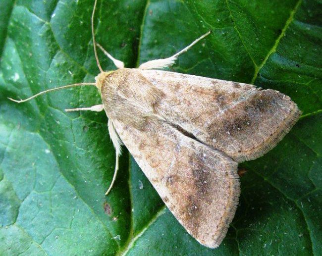 Фото серой бабочки совки на зеленом листе томата