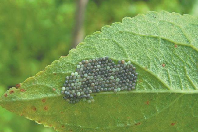 Кладка бабочки совки на листе помидоры с маленькими черными яйцами
