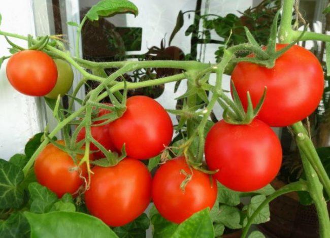 Кисти томатов с красными плодами в теплице из поликарбоната