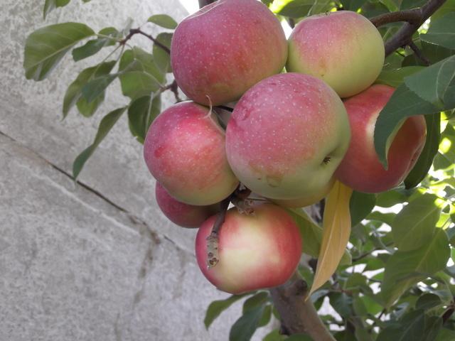 Гроздь созревающих яблок на ветке дерева сорта Лобо