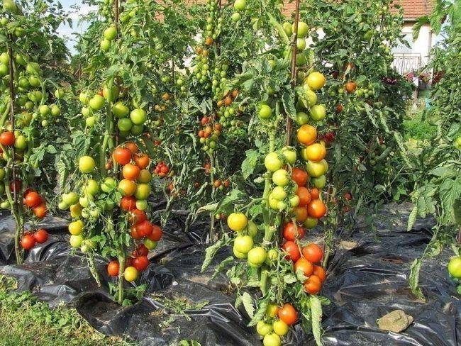 Высокие кусты томатов на подпорных кольях с буреющими плодами