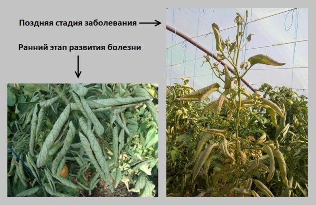 Скрученные листья помидоры при поражении бактериозом
