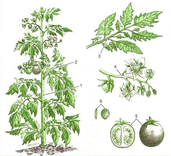 Схема строения куста помидоры с указанием частей растения