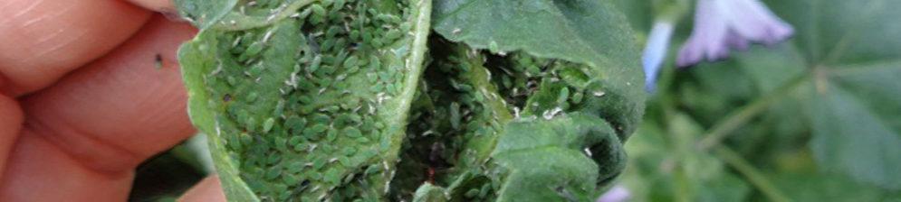 Тля на листе помидора вблизи и её личинки