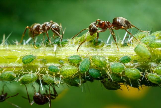Ветка помидоры с колонией зеленой тли и коричневые муравьи