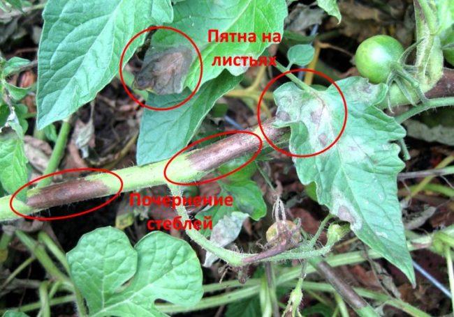 Пятна на листьях и ветках помидоры, типичные для фитофторы