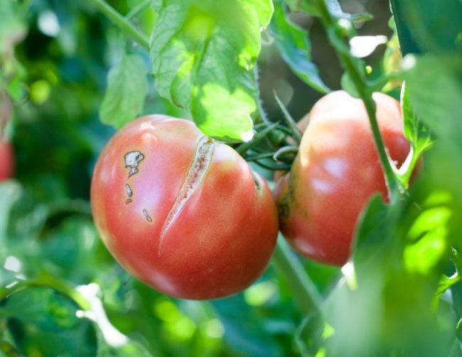 Две помидоры розового окраса с трещинами на боковой части