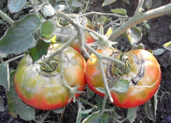 Три красно-зеленые помидоры с трещинами вокруг плодовой ножки