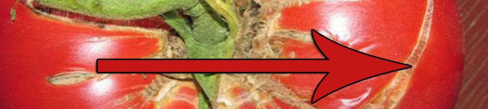 Треснул томат обильно по всему плоду