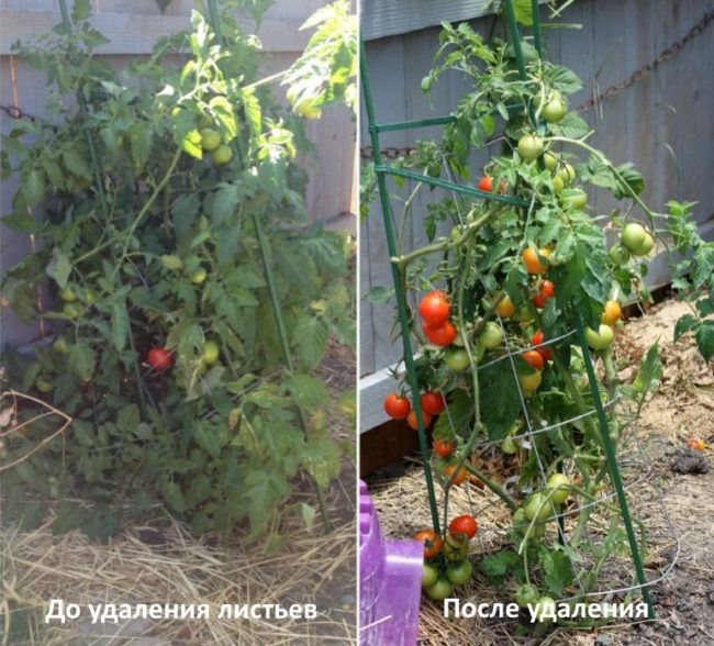 Куст высокорослого томата до и после удаления пасынков