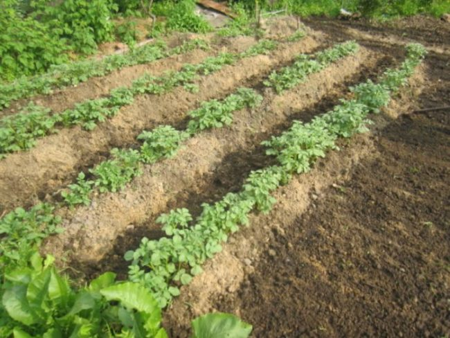 Ухоженные грядки с кустами картофеля на приусадебном участке