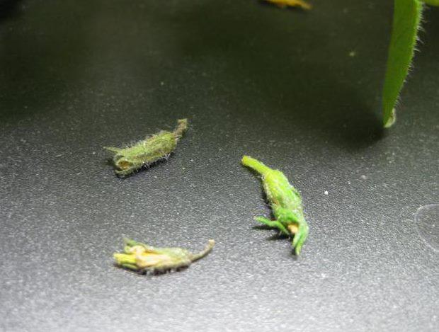 Завязи помидоры, упавшие после нападения на растение вредителей
