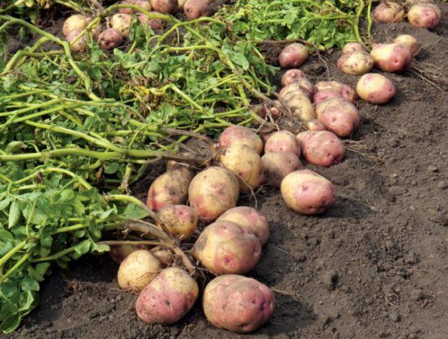 Выкопанная из земли картошка с розоватыми клубнями среднего размера