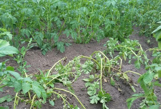 Увядание ботвы молодого картофеля на фермерском поле в начале лета